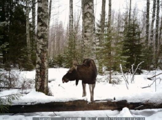 Охота на лося в Кировской области