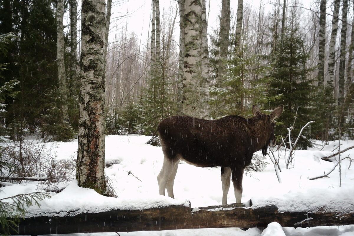 Охота на лося загоном в Кировской области