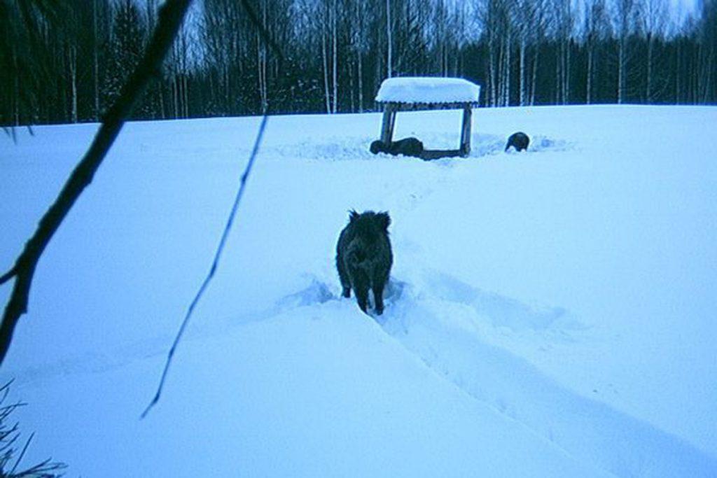 Кабан. Охота на кабана в Кировской области